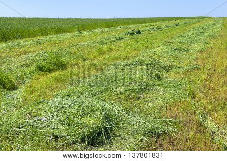 The field of cut grass. Harvesting forage crops for the season animal husbandry.