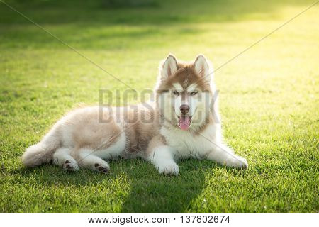 Blue eyes siberian husky puppy lying and looking on green grass under sun light