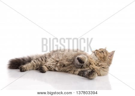 Tabby cat lying and catching on white backgroundisolated