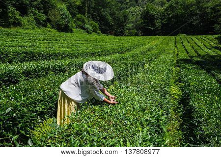 Young Woman Collecting Tea In The Plantation