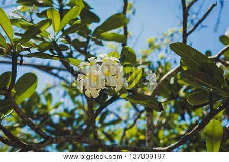 white and yellow Plumeria spp. (frangipani flowers, Frangipani, Pagoda tree or Temple tree), Bali
