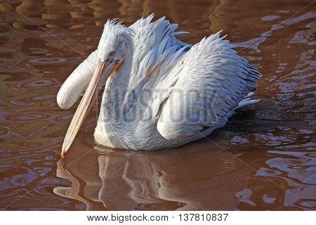 Dalmatian Pelican bird swimming on a lake