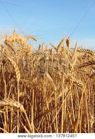 Ripening grain on the field in summer. Golden dry grain on the field.