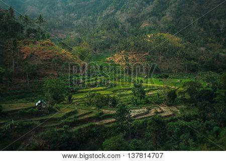 Green rice fields on Bali island