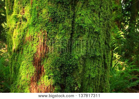 a picture of an exterior Pacific Northwest Vine maple tree trunk with moss