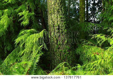 a picture of an exterior Pacific Northwest forest and Hemlock tree with moss