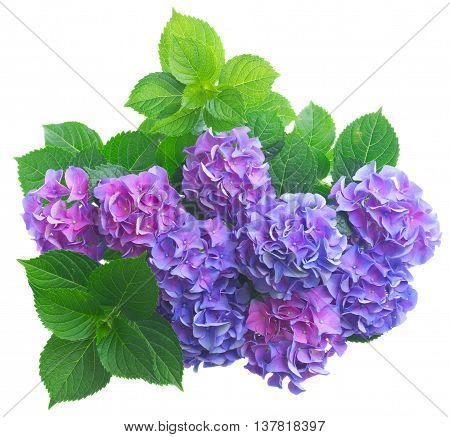 blue and violet hortensia flowers with green leaves isolated on white background
