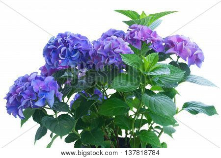 bush of blue and violet hortensia flowers isolated on white background