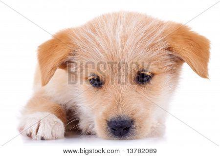 Very Cute Yellow Puppy