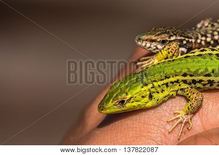 Two green lizards in hand in Macedonia