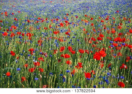 Colorful field with blue cornflowers and red poppies