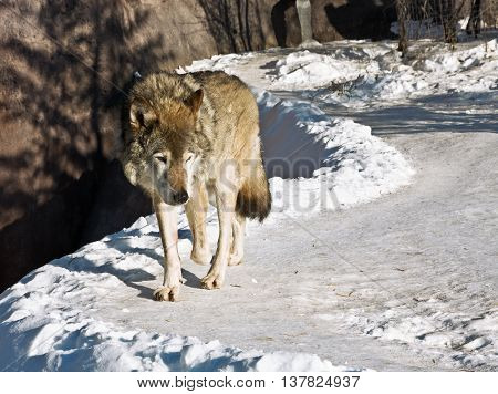 hungry wolf in the winter of looking out for prey