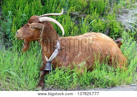 Stray goat intended for milk and cheese production