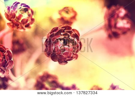 Succulent flower, Aeonium Zwartkop. Selective focus of a desert flower with copy space . Nature backgrounds.