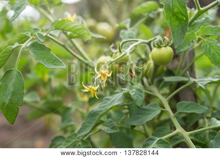 green tomatoes on the vine. A close up