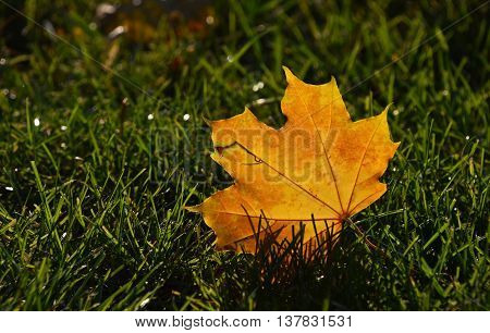 One beautiful yellow orange autumn fallen translucent maple leaf in green grass in golden sunshine back light low angle ground level view close up