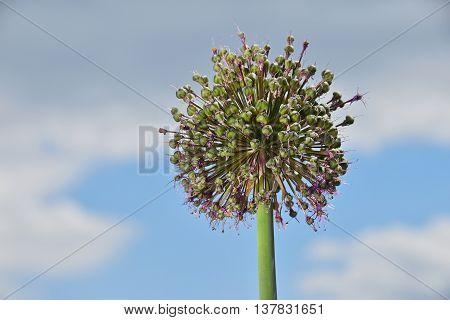 One Green Onion Leek Flower Blossom Over Blue Sky