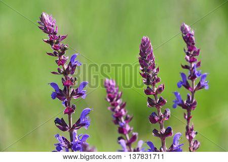 Purple Sage Salvia Flowers Over Green Meadow