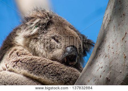 Koala on Kangaroo Island in eucalyptus tree