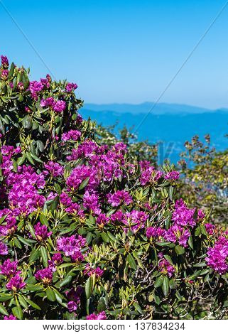 Rhododendron Bush Covered in Blooms with Blue Ridge Mountains in background