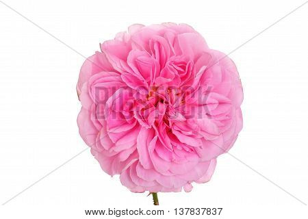 isolated pink English rose on white background