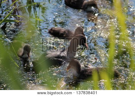Adult Eurasian coot (Fulica atra) with chicks