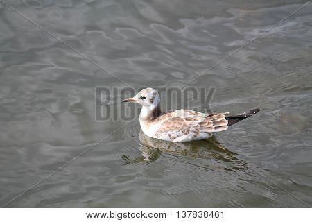 Black-headed gull (Chroicocephalus ridibundus) Juvenile of Black-headed gull (Chroicocephalus ridibundus). Wild bird