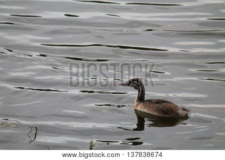 Juvenile of Great crested grebe. Wild bird