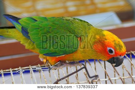sun conure parrot on top of a wire cage, head closer to camera, Songkhla, Thailand