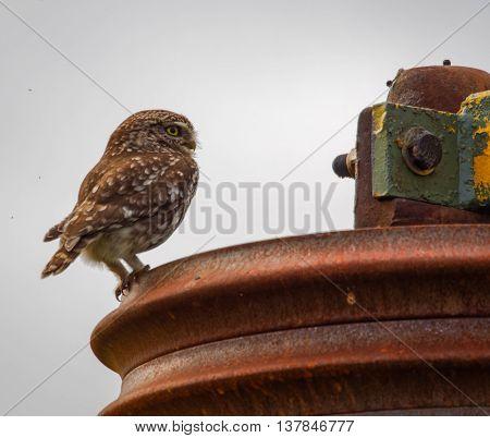 wild little owl sitting on farm equipment (Athene noctua)