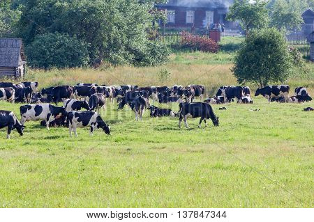 Cows on the farmland are grazed on a green grass