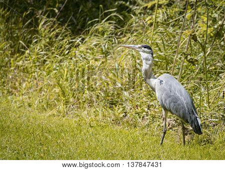 6 Grey Heron set Catching and eating mouse or vole (Ardea cinerea)
