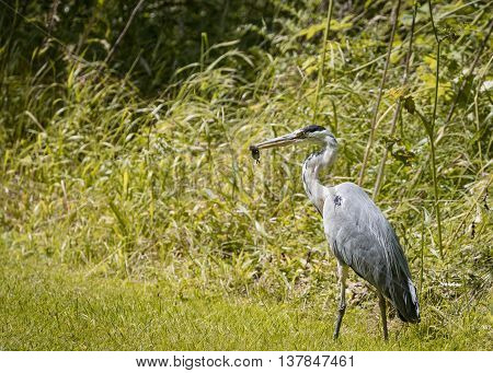 3 Grey Heron set Catching and eating mouse or vole (Ardea cinerea)