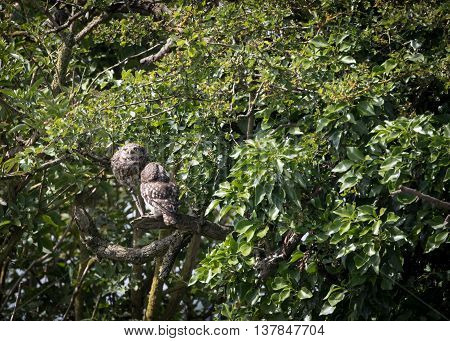 Pair of wild little owls looking around and at sky (Athene noctua)