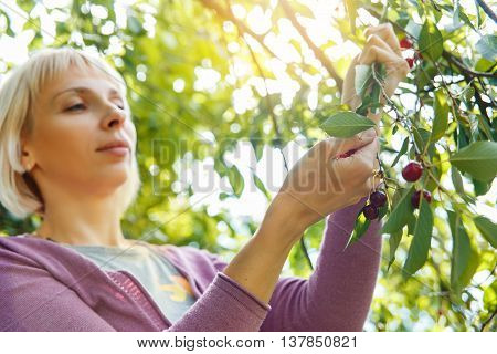A Smiling Young Woman Gathering Cherries