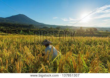 Bali, Indonesia - June 3, 2015: Woman working on the rice field in Bali, Indonesia