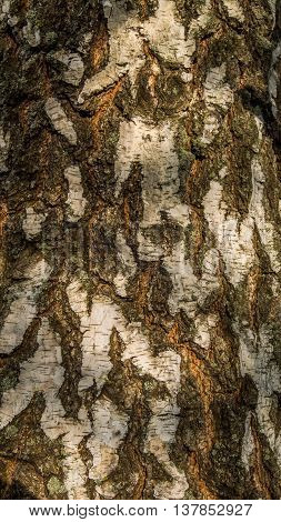 Background. White Gray fissured birch tree bark