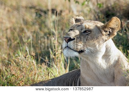 portrait of a beautiful lioness proudly lying in the African savannah, Kenya