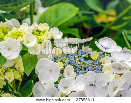 Closeup of a Hydrangea macrophylla shrub with pure white petals and small blue purple and green buds. It is summer now.