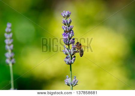 lavander bloem in de zomer met een honingbij