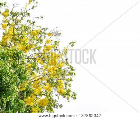 Cassia fistula flower golden shower tree. Isolated on white background with copy space