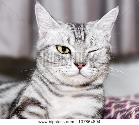 American Shorthair Cat Is Sitting And Closed One's Eye