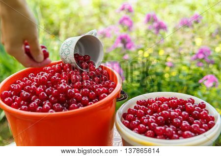 The collector pours the berries into a plastic bucket with ripe red cherries