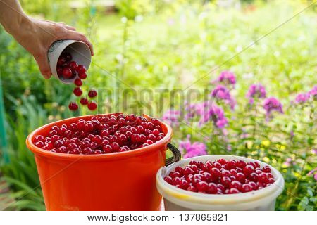 The collector pours the berries from a mug into a plastic bucket with ripe red cherries