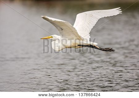 White Great Egret in flight over the lake.