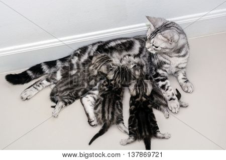 American shorthair mother cat was breastfeeding with copy space