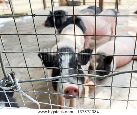 Blur image of pig in the iron cage for background usage.