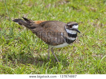 Wild bird that is walking on grass in bright sunlight
