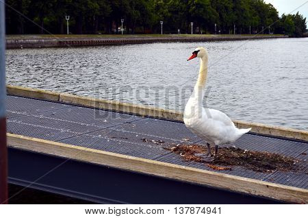 mature white swan swimming in baltic sea