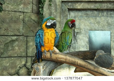 Bright couple macaw parrots . Blue and yellow and green .